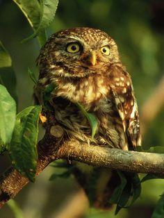 Italy - Lazio - Little Owl (Civetta) from Gran Sasso-Laga National Park