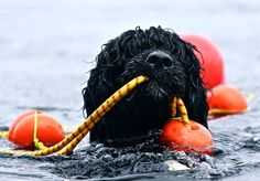 Portuguese Water Dog doing it's job!