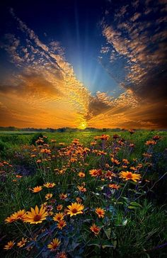 """Fantastic landscape photograph of a field of daisies at sunrise in Wisconsin, entitled """"Daisy Dream"""" by Phil Koch on Captured with a Canon EOS Focal Length Shutter Speed Aperture ISO/Film flowers Beautiful Sunset, Beautiful Places, Beautiful Pictures, Beautiful Images Of Nature, Beautiful Flowers, Beautiful Beautiful, Landscape Photography, Nature Photography, Scenic Photography"""