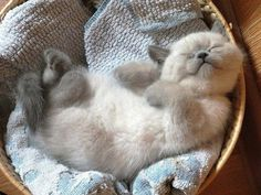 What an adorable snuggled up kitten!
