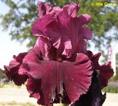 TB Iris germanica 'Let's Be Brazen' (Blyth, 2004)