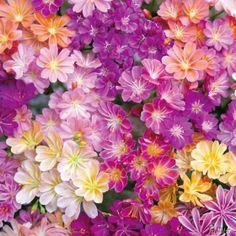 Porzellanröschen 'Regenbogen' jetzt günstig in Ihrem MEIN SCHÖNER GARTEN - Gartencenter schnell und bequem online bestellen.