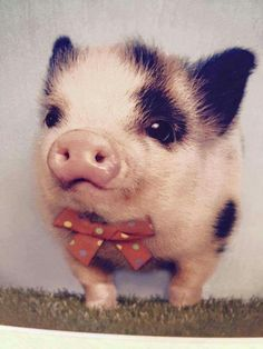 REMINDS ME SO MUCH OF WADDLES (even though this one has spots it's still an incredibly adorable pig ✨)