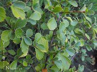 Cercocarpus betuloides - Western Mountain Mahogany
