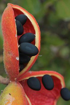 Sterculia quadrifida Sterculiaceae Peanut Tree