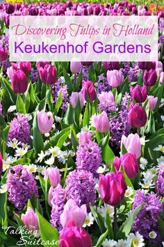 Join us in discovering Tulips in Holland and explore the Beauty of Keukenhof Gardens. Keukenhof tulip gardens is the worlds mostbeautiful Spring garden.