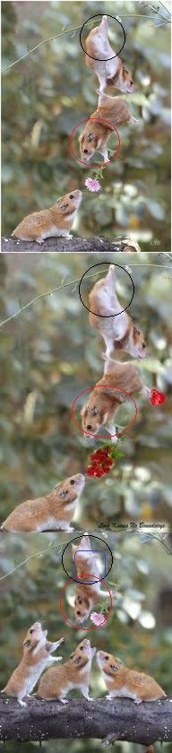 Fake - The top image and the middle image are identical except they are holding different flowers. The bottom image uses one of the same hamsters. The hamster on the bottom right is a reversed image of the hamster receiving flowers on the upper images. The bottom image also uses a Photoshopped image on the hanging hamster on the bottom. He is a combination of the top and bottom Hamsters on the upper images.(I added some colored symbols to show the pieces of the puzzle.)