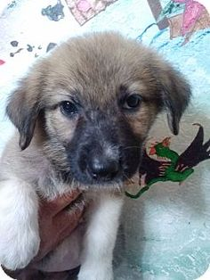 st. pete., FL - German Shepherd Dog/Great Pyrenees Mix. Meet katnip, a puppy for adoption. http://www.adoptapet.com/pet/11360840-st-pete-florida-german-shepherd-dog-mix
