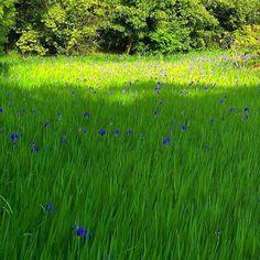 #майские в #Киото - это сезон цветения ирисов #мидокоро #цветы #ирисы www.midokoro.com