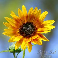Sunflower Print nature photography yellow sun by SightToSoul