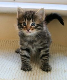Norwegian Forest Kittens for new home - http://www.austree.com.au/ads/pets/cats-kittens/norwegian-forest-kittens-home/23197/