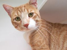 NIGEL - A1113987 - - Manhattan  ***TO BE DESTROYED 06/13/17***BEGINNER ALERT! TWO YEAR OLD DREAMSICLE CREAMSICLE IS A NEUTERED PRO HEADBUTTER–CATMAN OF YOUR DREAMS!!! -  Click for info & Current Status: http://nyccats.urgentpodr.org/nigel-a1113987/