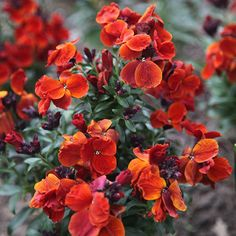Erysimum cheiri 'Fire King' March to May