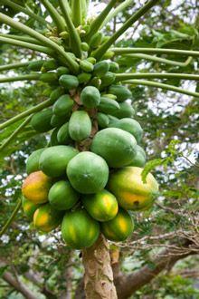 papaya tree | Papaya Tree | Grow Your Own Fresh Tropical Papaya| Fast Growing Trees