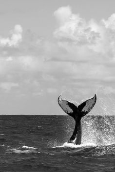 whale | love | peaceful | ocean | sea | beautiful giant | tail | black  white | photography | cool | freedom