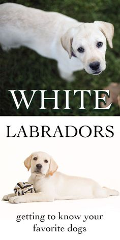 All about white labradors
