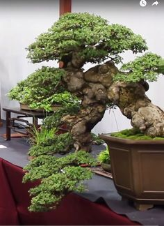 Start Day How to Grow a Bonsai Tree - Gardening Art Indoor Bonsai, Bonsai Plants, Bonsai Garden, Bonsai Tree Care, Bonsai Tree Types, Bonsai Trees, Pine Bonsai, Juniper Bonsai, Greenhouse Gardening