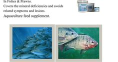 Aquamin Aquatic Minerals for Growth & Immunity In Fishes & Prawns. Aquamin helps for better growth, body weight with better health & immunity. Health And Wellness, Nutrition, Fish, Animals, Animales, Health Fitness, Animaux, Pisces, Animal