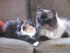 Siberian Cats www.siberian-cat.net
