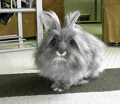 """""""*BUDDY* the Lionhead Rabbit"""" ---- Owner: Cheryl [Lionhead rabbits appeared in… Funny Bunnies, Baby Bunnies, Cute Bunny, Lionhead Rabbit, Lionhead Bunnies, Fox And Rabbit, Bunny Rabbit, Farm Animals, Cute Animals"""