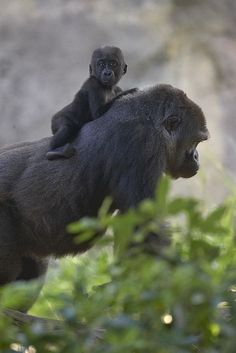 Piggy back,Awww (by Official San Diego