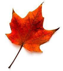 48 Best Types Of Maple Trees Images On Pinterest Autumn Trees
