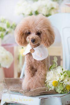 Japanese poodle fashion!