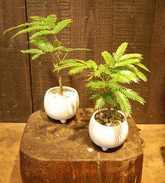 エバーフレッシュ(KICF-10) - NEO GREEN SHOP : インテリアグリーン、花、鉢植え、盆栽の通信販売