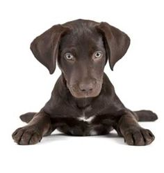 how to potty train a lab puppy without a crate