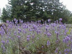Peace Valley Lavender Farm, Doylestown