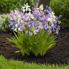 Popular Spring flowers commonly called Spanish bluebells or wood hyacinths. Dangling little bells in pastel shades of sky blue, pink and white. Indoor Flowering Plants, Patio Plants, Fall Plants, Garden Plants, Pastel Flowers, Bulb Flowers, Spring Flowers, Best Plants For Shade, Shade Plants