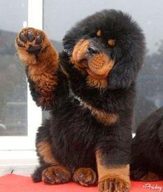 Tibetan Mastiff says hello (photo source): http://imgur.com/r/aww/mZdAQvO