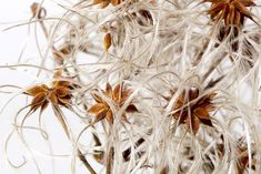 Dandelion, Flowers, Plants, Seeds, Projects, Pictures, Dandelions, Plant, Taraxacum Officinale