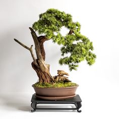 Pine Tree, Planter Pots, Herbs, Living Room, How To Make, Style, Swag, Pine, Herb