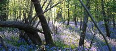 Wonderful Places To See Bluebells in Surrey, Hampshire and Sussex - Pumpkin Beth Beautiful Places To Visit, Wonderful Places, Places To See, Blue Flowers, Wild Flowers, English Bluebells, Planting, Gardening, Bog Garden