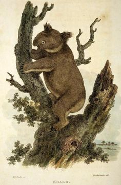Koala in 'Aracana, or, The museum of Natural History'. George Perry, 1811.