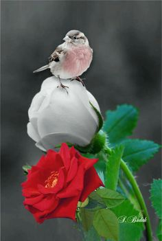 Beautiful Rose Flowers, Love Rose, Beautiful Birds, Background Hd Wallpaper, Flower Phone Wallpaper, White Roses, Red Roses, Splash Images, Splash Photography