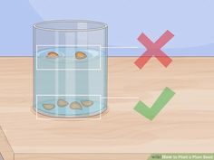 """How to Plant a Plum Seed. A plum is a type of stone fruit that carries its seed inside a pit in the core of the fruit. Seeds can be harvested from most market varieties, and then undergo a process called """"stratification. Plum Seed, Growing Fruit Trees, Stone Fruit, Edible Plants, Fruit Garden, Plantar, Growing Vegetables, Harvest, Seeds"""