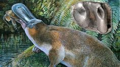 An extinct species of giant, toothed platypus, about a metre in length, has been discovered and identified in far north-west Queensland, using a single tooth.  The lower molar, originally unearthed in the Riversleigh world heritage fossil area near Mount Isa, could have stayed hidden in a cupboard at the University of NSW, were it not for palaeontology student Rebecca Pian.