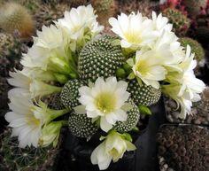 Rebutia krainziana 'albiflora'