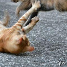 2012/08/28 Photo Diary: Fighting cats  普段は静かに仲良く並んでいる、この2匹のネコ。珍しく、乱闘中の場面に遭遇。戦いというよりも、じゃれあっているという感じ。  Two cats are fighting.  / Photo / NIKON D3100 / Cat / Tokyo (F/10, ISO3200, 1/160s, 0.00ev)