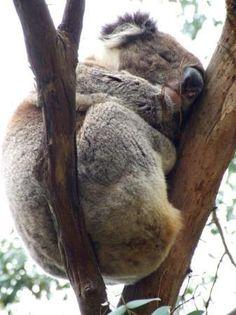Cape Otway, #Australia: Wild Koala http://www.tripadvisor.com.au/ShowForum-g255098-i277-Victoria.html