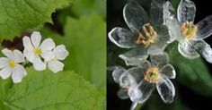 ¿Una flor de cristal o maravilla de la naturaleza?