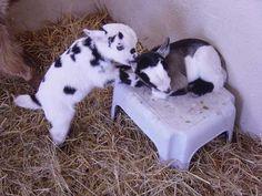 R Goats Good Pets Baby Pygmy Goat...