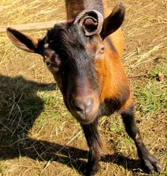 guide to goat breeds - great site!  Looks just like Petals' mother!!! One curly horn and all........