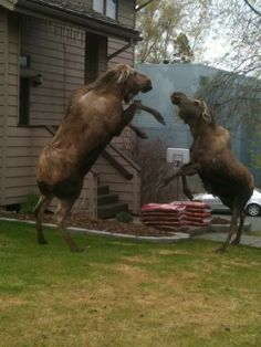 Moose disagreement- The moose or elk, Alces alces, is the largest extant species in the deer family. Moose are distinguished by the broad, flat antlers of the males; other members of the family have antlers with a dendritic configuration. Wikipedia