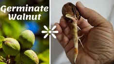 A very easy and effective way to plant a walnut tree from seed. The only thing you need to do is choose the walnuts you prefer and plant a wonderful and majestic tree which your grandchildren will enjoy. (using it as a swing😉)! Good luck!!!  Instructions:  -Break the tip of the walnut -Put them in a jar filled with water for 24 hours -Place them in a box for a month (dark place) -Plant them in containers -In about a month they will be ready for transplantation Dark Places, Grandchildren, Seeds, Jar, Gardening, Plants, Lawn And Garden, Plant, Jars