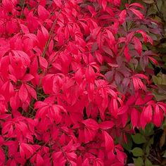 BURNING BUSH is a tough shrub with foliage that turns glowing shades of red and pink in the fall.