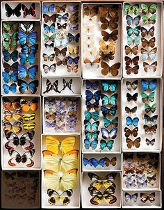 I hope those arn't real 😬😞 The Butterfly Project : Add personality to your home with DIY butterfly frames. – The Interior Perspective Butterfly Project, Butterfly Frame, Butterfly Bedroom, Hm Deco, Carnegie Museum, Historia Natural, Cabinet Of Curiosities, Natural Curiosities, Nature Collection