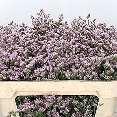 P Limonium Mr Silver Pink Is A Beautiful Pink Filler Flower. - Wholesaled In Batches Of 25 Stems. Limonium and Statice Are A Genus Of The Plumbaginaceae Family And Is Often Found Growing Naturally Near The Coast, In Salt Marshes And In Alkaline Soil. Bridal Flowers, Fall Flowers, Cut Flowers, Pink Flowers, October Flowers, Florist Supplies, Shade Garden, Amazing Flowers, How To Dry Basil